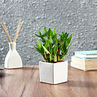 Lucky Bamboo Plant in Square Ceramic Pot: Spiritual and Vastu Plants