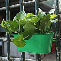Lucky Green Money Plant: Good Luck Plants for Mothers Day
