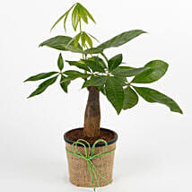 Lucky Pachira Bonsai Plant: Bonsai Plants