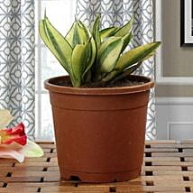 Lush Green Sansevieria Plant: Womens Day Gifts to Pune