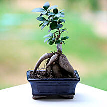 Marvellous Ficus Microcarpa Plant: Plants for Him