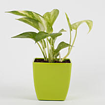 Money Plant in Imported Plastic Pot: Send Flowers to Purba Medinipur
