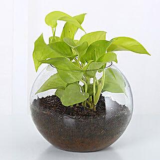 Money Plant Terrarium: Plants Delivery