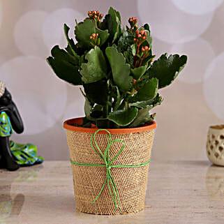 Orange Kalanchoe Plant: Home Decor Anniversary Gifts