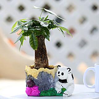 Pachira Bonsai In Cute Panda Pot: Bonsai Plants