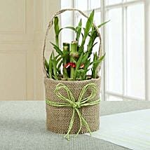 Perfect Lucky Bamboo Plant: Good Luck Plants - Friendship Day