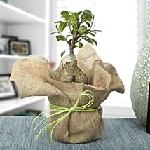 Picturesque Ficus Ginseng Bonsai Plant: