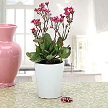 Pink Kalanchoe Plant: Home Decor Anniversary Gifts
