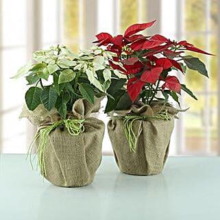 Poinsettia Plant Combo: Valentine Plants