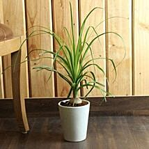Ponytail Bamboo Palm: Good Luck Plants for Mothers Day