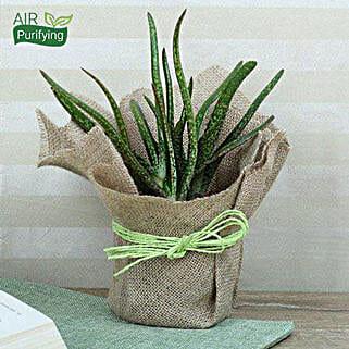 Popular Aloe Vera Plant: Gifts for Virgoans