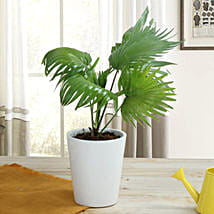 Potted China Palm Plant: Ornamental Plant Gifts