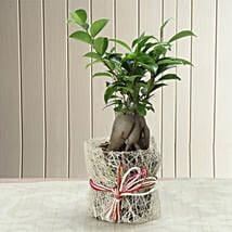 Potted Ficus Bonsai Plant: Karva Gifts for Mother in Law