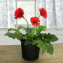 Potted Gerbera Plant: Send Plants to Bhopal