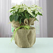 Potted Poinsettia Plant: