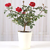 Rose Plant In Round Fabric Pot: Send Plants to Pune