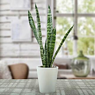 Sansevieria Air Purifying Plant: Cactuses & Succulents