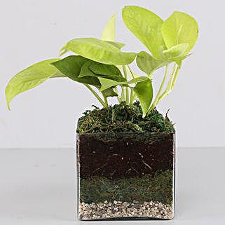 """Scindapsus Neon Plant 4"""" Glass Terrarium:"""