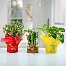 Set of 3 Good Luck Plants: Plants - Same Day Delivery