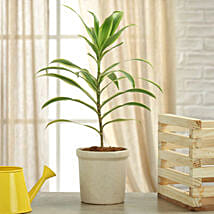 Song Of India Plant: Plants - Same Day Delivery