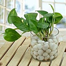 Spendid Money Plant Terrarium: Good Luck Plants for Mothers Day
