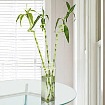 Spiral Bamboo Plant: Send Plants to Mumbai