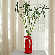 Spiral Lucky Ever Bamboo Plant: Good Luck Plants for Anniversary