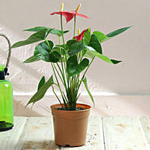 Stunning Red Anthurium Plant: Valentines Day Gifts Dhanbad