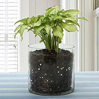 Syngonium Gold Allusion Plant Terrarium: Terrariums & Fairy Gardens