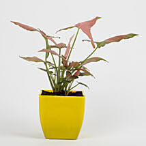 Syngonium Pink Plant in Imported Plastic Pot: Air Purifying Plants