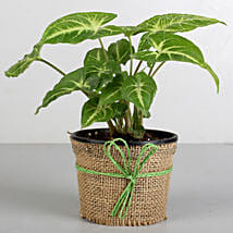 Syngonium Plant in Black Plastic Pot: Plants for Living Room