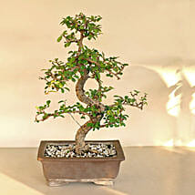 Traditional Bonsai Carmona Plant: Plants to Bengaluru