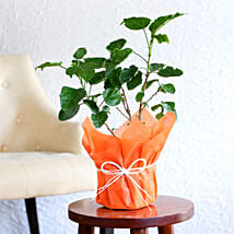 Tropical Hibiscus Plant: Home Decor Anniversary Gifts
