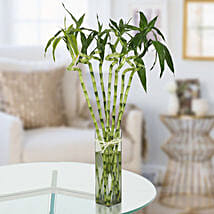 Twisted Lucky Bamboo Plant: Good Luck Plants for Anniversary