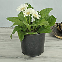 White Gerbera Plant: Today Delivery of Plants