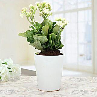 White Kalanchoe Plant: