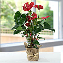 Red Anthurium Jute Wrapped Potted Plant: Send Birthday Flowers to Singapore