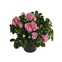Azalea Plant: Xmas Gifts for Parents to UAE
