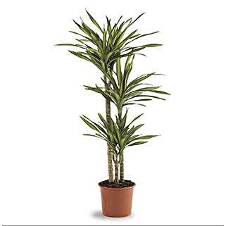 Dracaena Rikki: Buy Plants in Dubai, UAE