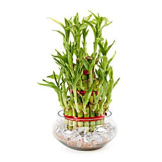Good Luck Plant 3 Layers: Buy Plants in Dubai, UAE