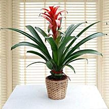 Guzmania Ecstasy: Birthday Gift Delivery in UAE