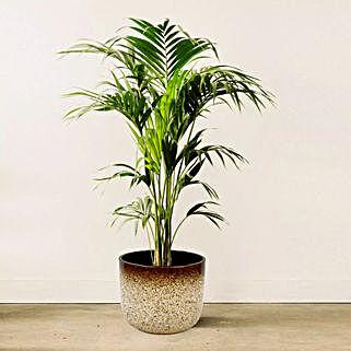 Kentia Palm: Indoor Plants in UAE