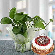Money Plant and Blackforest Cake Combo: Cake Delivery in Abu Dhabi