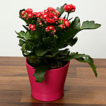 Pink Kalanchoe Plant in Pink pot: Mother's Day Plants to UAE
