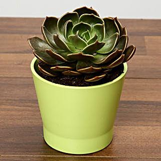 Purple Echeveria Plant In Green Ceramic Pot: Mother's Day Plants for UAE