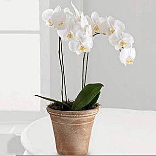 White Phalaenopsis Orchid Plant: Buy Plants in Dubai, UAE