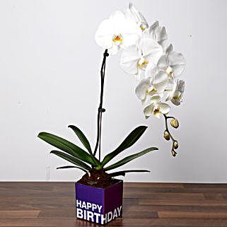 White Phalaenopsis Plant For Birthday: Buy Plants in Dubai, UAE