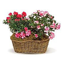 Awesome Azaleas: Same Day Flower Delivery in Baltimore